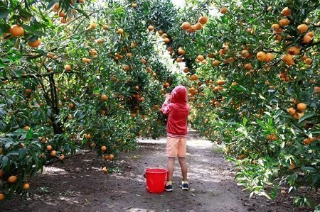 Queensland farmers faces a chronic shortage of fruit picking workers